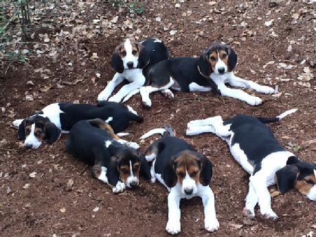 Treeing Walker Coonhound Pups